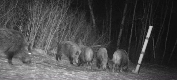 Horde of 'deer-eating' pigs take over park and dubbed 'most invasive animal on earth'