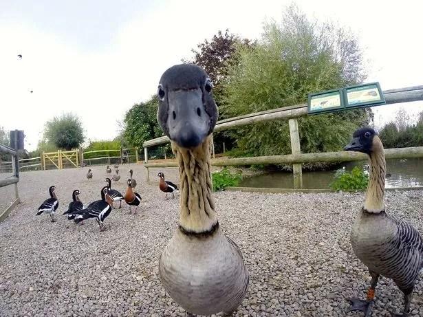 Nene Geese at Slimbridge