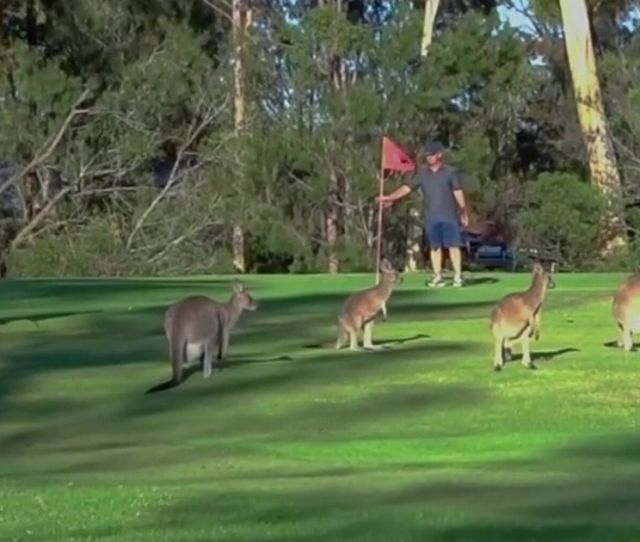 Cheeky Troop Of Kangaroos Interrupt Golf Game After Invading Course In Australia World News Mirror Online