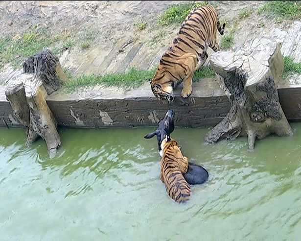 https://i1.wp.com/i2-prod.mirror.co.uk/incoming/article10576065.ece/ALTERNATES/s615b/Zookeepers-feed-live-donkey-to-tigers-Yancheng-Wild-Animal-World-Changzhou-city-China-05-Jun-20.jpg?w=736&ssl=1
