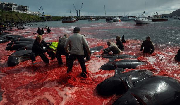 Sea turns red in Faroe Islands as 250 whales slaughtered in 'barbaric' hunt