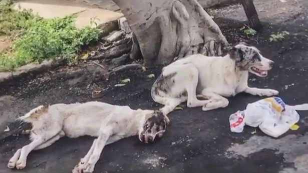 Rescuers found the dog guarding its injured pal on the roadside in Brazil