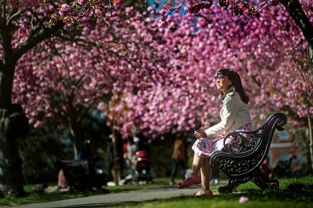 A park-goer sits on a bench under blossom trees in bloom in Greenwich Park, London