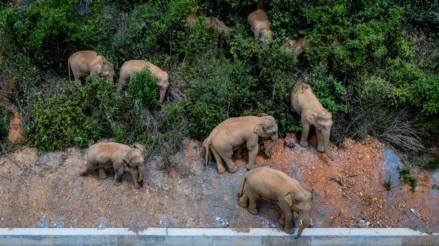 The rebellious herd of elephants has been spotted taking a nap together after months of chaos