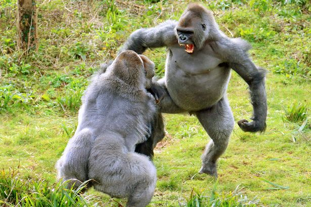 https://i1.wp.com/i2-prod.mirror.co.uk/incoming/article7520871.ece/ALTERNATES/s615b/These-burly-gorillas-REALLY-love-their-veg-The-two-Western-lowland-gorillas-almost-came-to-blows-over-a-jacket-potato.jpg?w=736&ssl=1