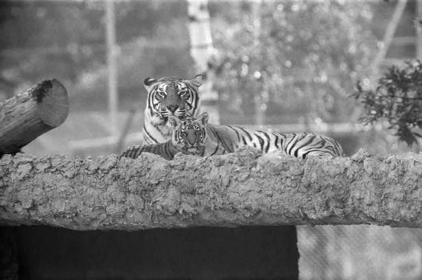 Young Tigers at Windsor Safari Park in 1980