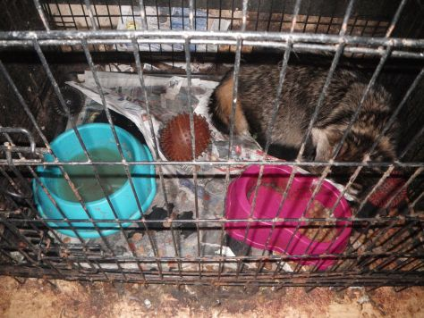 A raccoon dog kept in a foul cage by Natalie Keenan and David Knight from Meir, Stoke