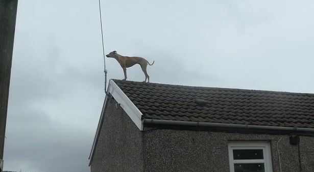 Dog filmed on roof of terraced houses in Wales despite there being no obvious way up