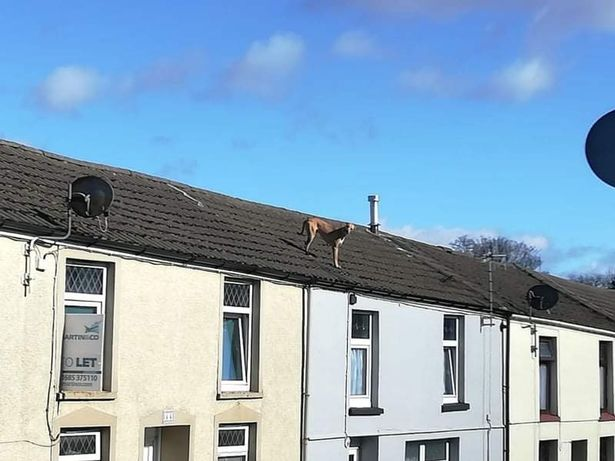 The dog likes to run across the pointed roofs in the street in Aberdare