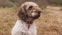 Tom Truffle Dog orig_00002119.jpg