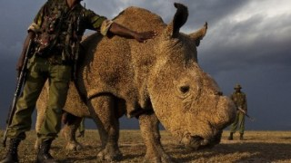 Image result for last male white northern rhino