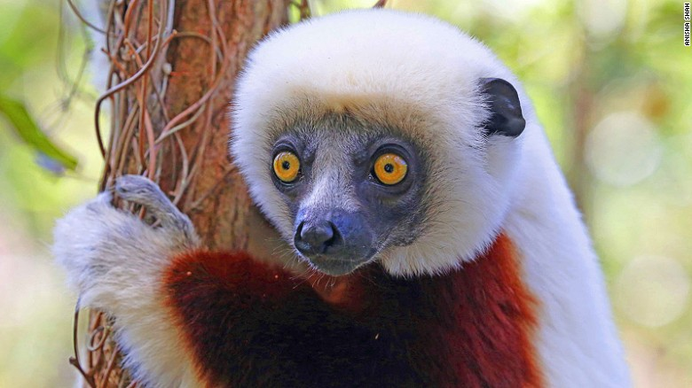 There are 106 known species and subspecies of lemur in Madagascar, including the Coquerel's sifaka (pictured). Tracking them is a thrilling adventure through a landscape of vast contrasts and changing climates.