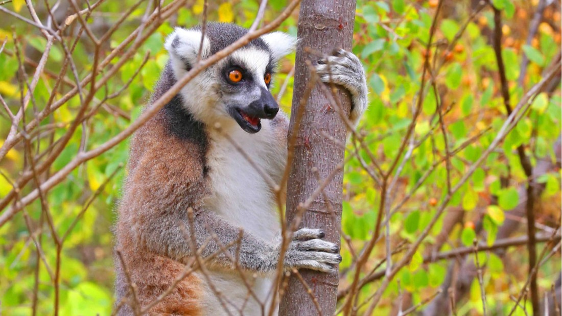 Image result for The ring-tailed lemur is the most recognizable species, due to its distinctive black and white ringed tail.