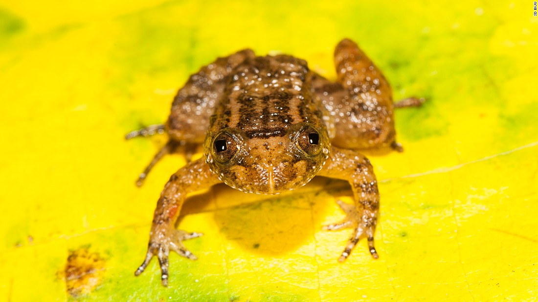 One of the new species is the Athirappilly Night Frog (Nyctibatrachus athirappillyensis).