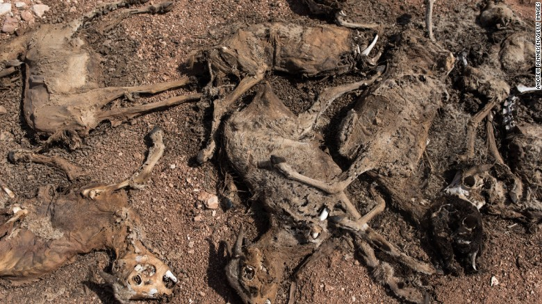 Dead goats are piled up outside a refugee camp in Somalia.