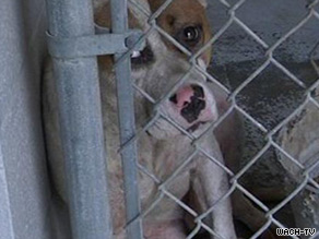 One of six dogs recovered from a Sumter County, South Carolina, dogfight waits in a kennel last week.