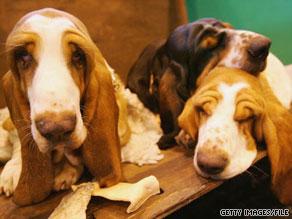 Breeds like hounds rank near the bottom of surveys on dog intelligence.