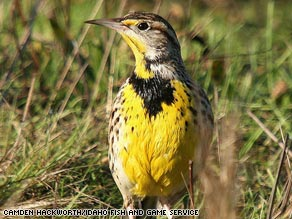 The Western meadowlark is an endangered bird species, according to a new report.