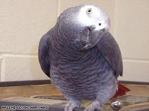 Alex, an African gray parrot, was one of 14 birds which displayed an ability to keep time with a tune.