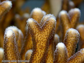 Corals' communication system with algae is affected by changes in sea acidification.