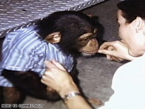 Travis, seen here as a younger chimp, was fatally shot by police after attacking Nash, authorities say.