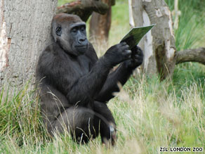 Jookie, as she is known, studies a poster of French gorilla Yeboah, who is heading for London Zoo.