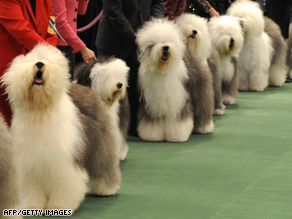 Old English Sheepdogs wait in the judging ring during the 2009 133rd Westminster Kennel Club dog show at Madison Square Garden in New York.