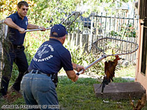 When Miami residents were overrun with loose chickens the city added a full-time Chicken Buster to the payroll.