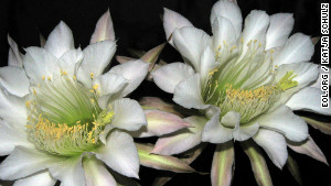 Arizona Queen of the Night, Peniocereus greggii