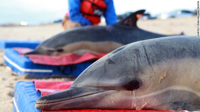 La muerte misteriosa de 81 delfines en costas de EE.UU. desconcierta a los científicos