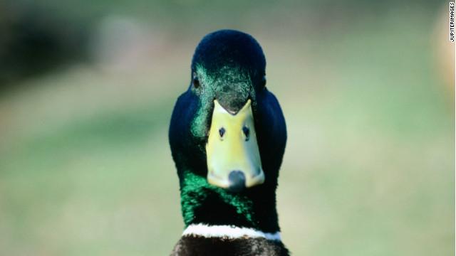 https://i1.wp.com/i2.cdn.turner.com/cnn/dam/assets/120308090802-mallard-duck-staring-at-camera-story-top.jpg
