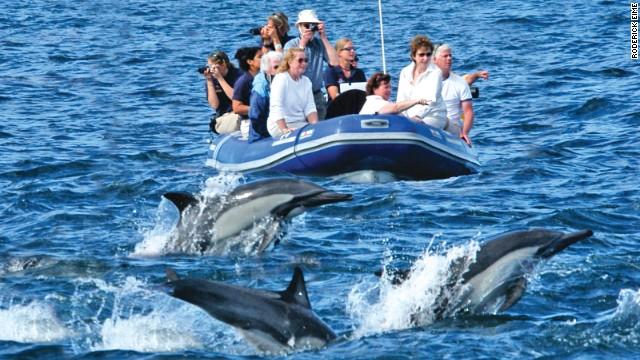 Hawaiian spinner dolphins feed at night and throng Oahu's (Hawaii) west coast.