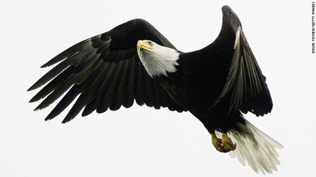 Bald eagles, like this one near Valdez, are a common sight in coastal Alaska, but <a href='http://eaglenature.com/eagle_facts.php' target='_blank'>as many as 25,000</a> live in the lower 48 states.