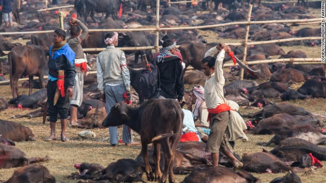 The bodies of sacrificed water buffalo litter the fields at the world's largest ritual animal slaughter.