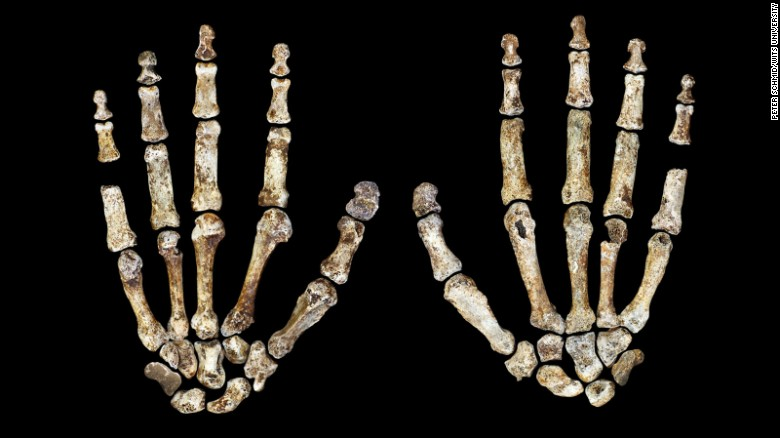 Homo naledi's hands suggest tool-making and climbing capabilities.