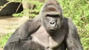 Cincinnati Zoo stands by decision to kill gorilla