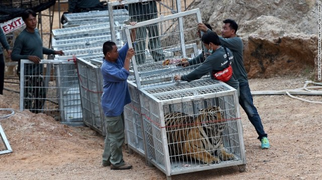 Thai wildlife officials use a tunnel of cages to capture a tiger and remove it from the Wat Pha Luang Ta Bua Tiger Temple in Kanchanaburi province, western Thailand on Monday, May 30, 2016. Authorities raided the compound over concerns for the welfare of the animals, and after complaints from tourists that they'd been attacked.