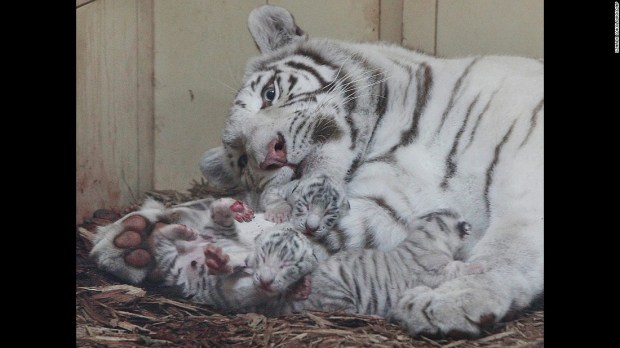 Three white tigers are watched by their mother, Mandzi, just hours after being born at a private zoo in Borysew, Poland, on Thursday, September 22.