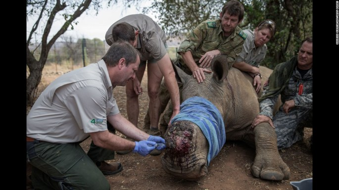 A rhino is treated by veterinarians on Monday, September 19, after its horn was removed by poachers in South Africa.