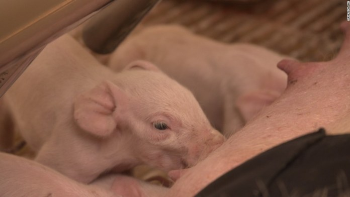 This wearable saves little piglets' lives