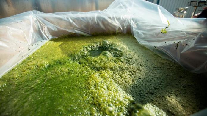 Mission Ahead Algae 3