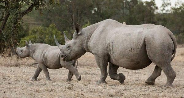 black rhino and calf on Ol Pejeta Conservancy.