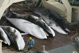 Japanese whaling - Minke whales