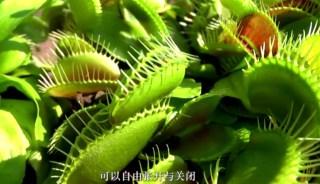 捕蝇草不仅可以捕食昆虫,甚至可以捕杀青蛙