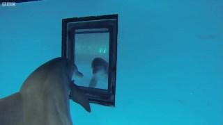 """臭美!!当海豚发现了镜子里的""""海豚"""" 它会怎么做呢??"""
