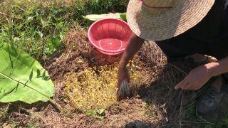 家乡老方法自制豆芽,发了一大堆外面买不到,健康又好吃,真好