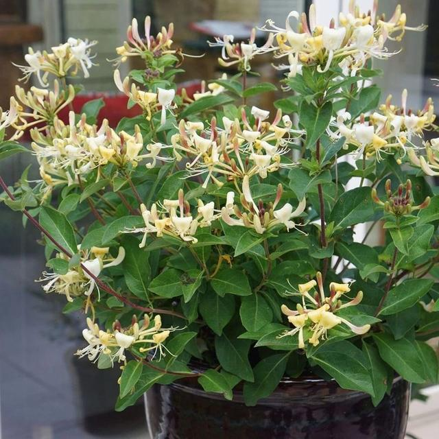 很好養護的爬藤金銀花,想讓它花開燦爛是有技巧的 - 每日頭條