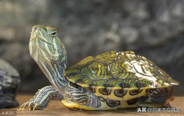 小烏龜吃什麼?有什麼適合小烏龜的食物? - 每日頭條