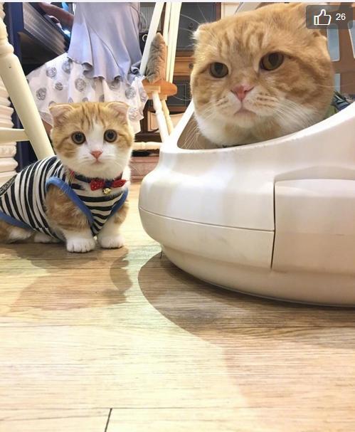 臺灣一網友每天都被家中三隻貓咪萌的流鼻血 - 每日頭條