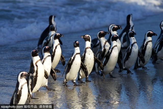 南非:瀕臨滅絕的非洲黑腳企鵝 矮萌惹人愛 - 每日頭條